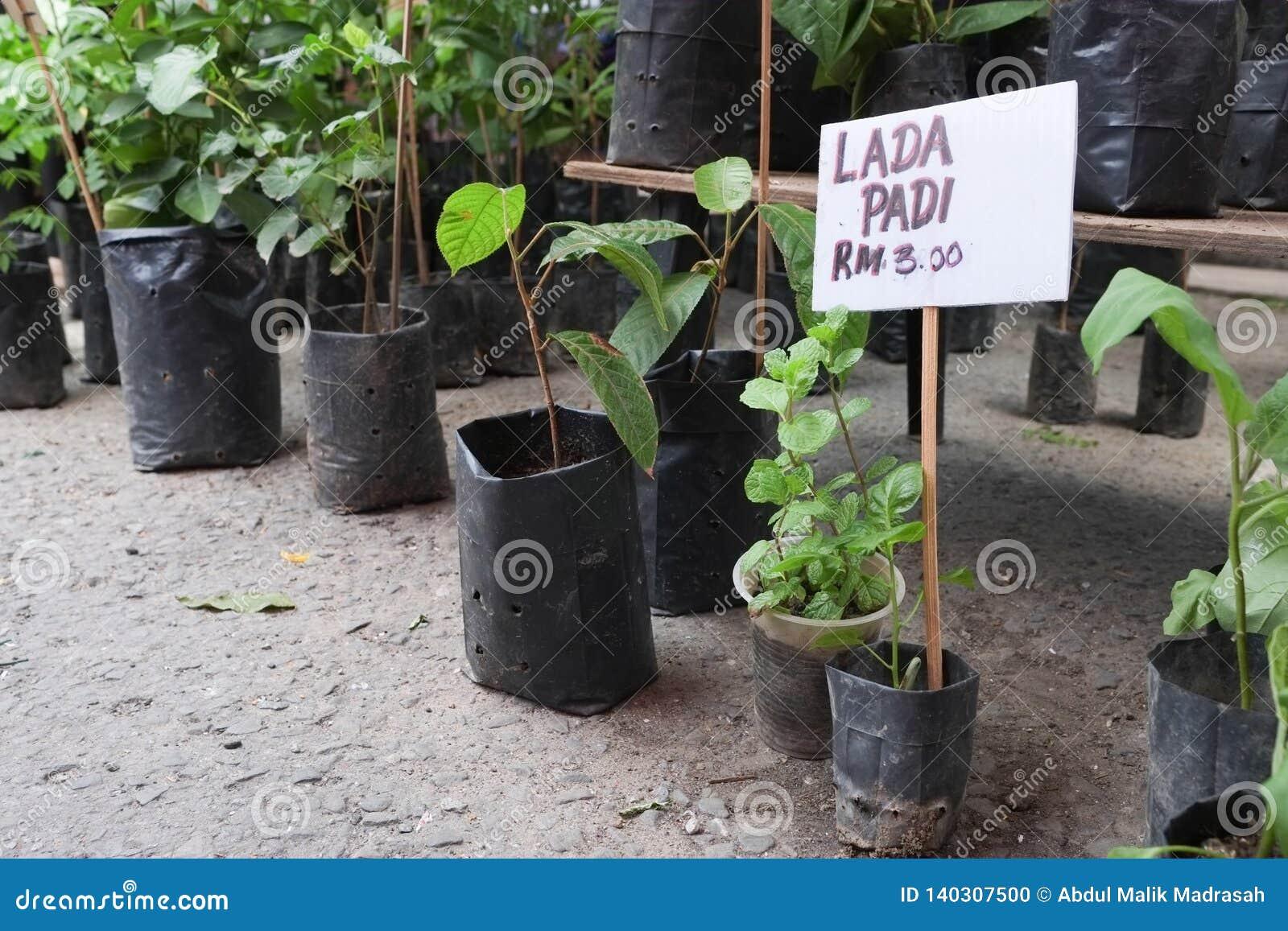 Rośliny i drzewa sprzedający przy Niedziela rynkiem