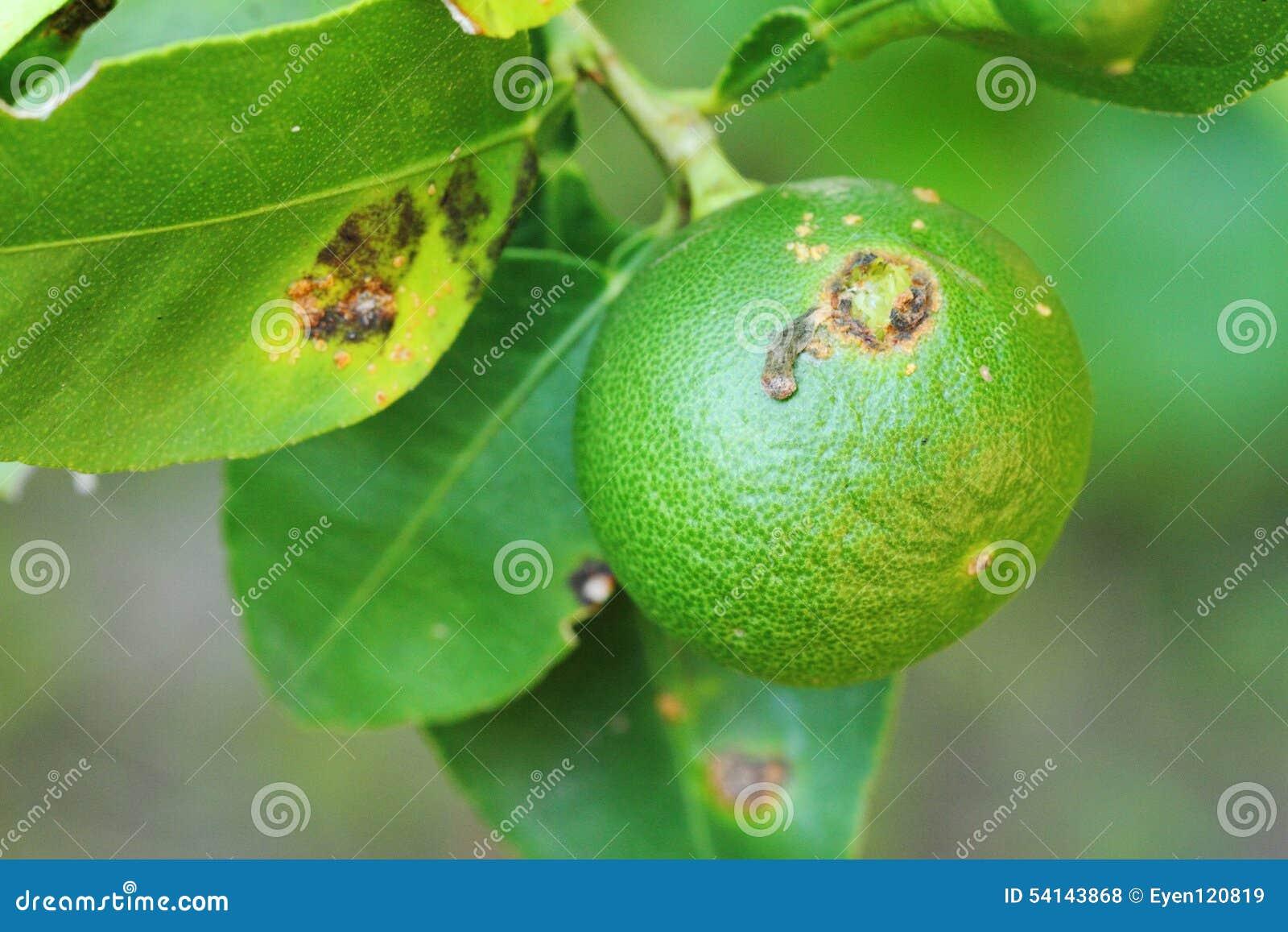 Rośliien choroby, cytrus niszczeją