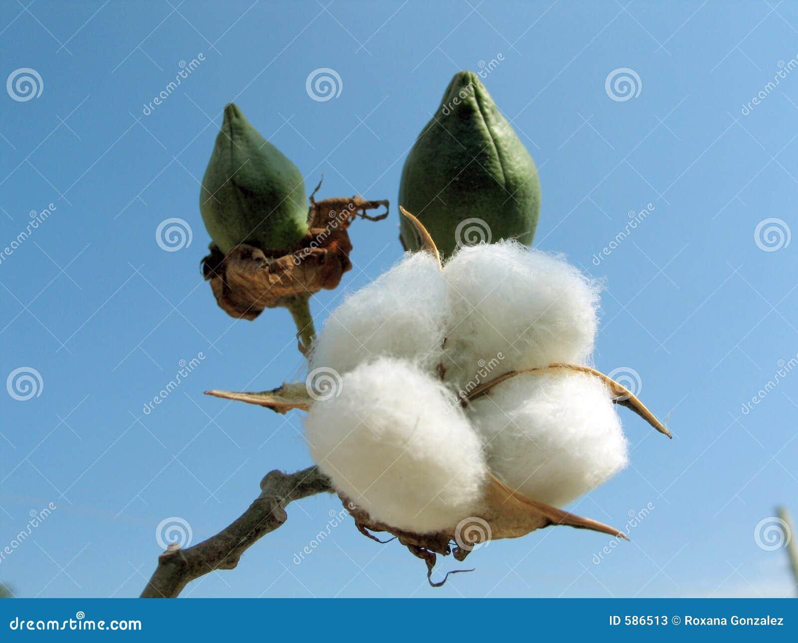Rośliny bawełnianej