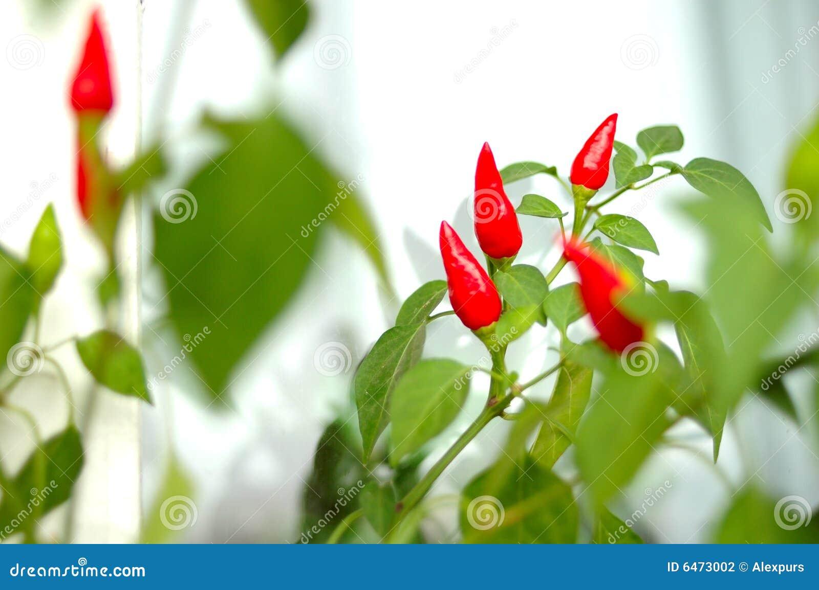Rośliny capsicum Cayenne