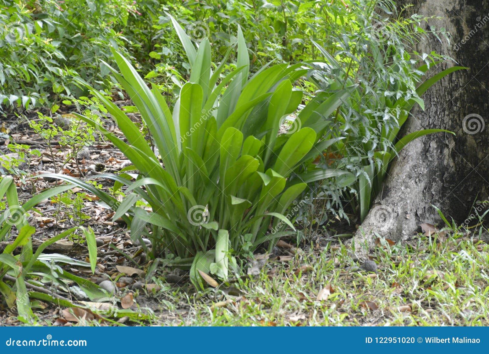 Rośliny rosnąć w Tologan, Padada, Davao Del Sura, Filipiny