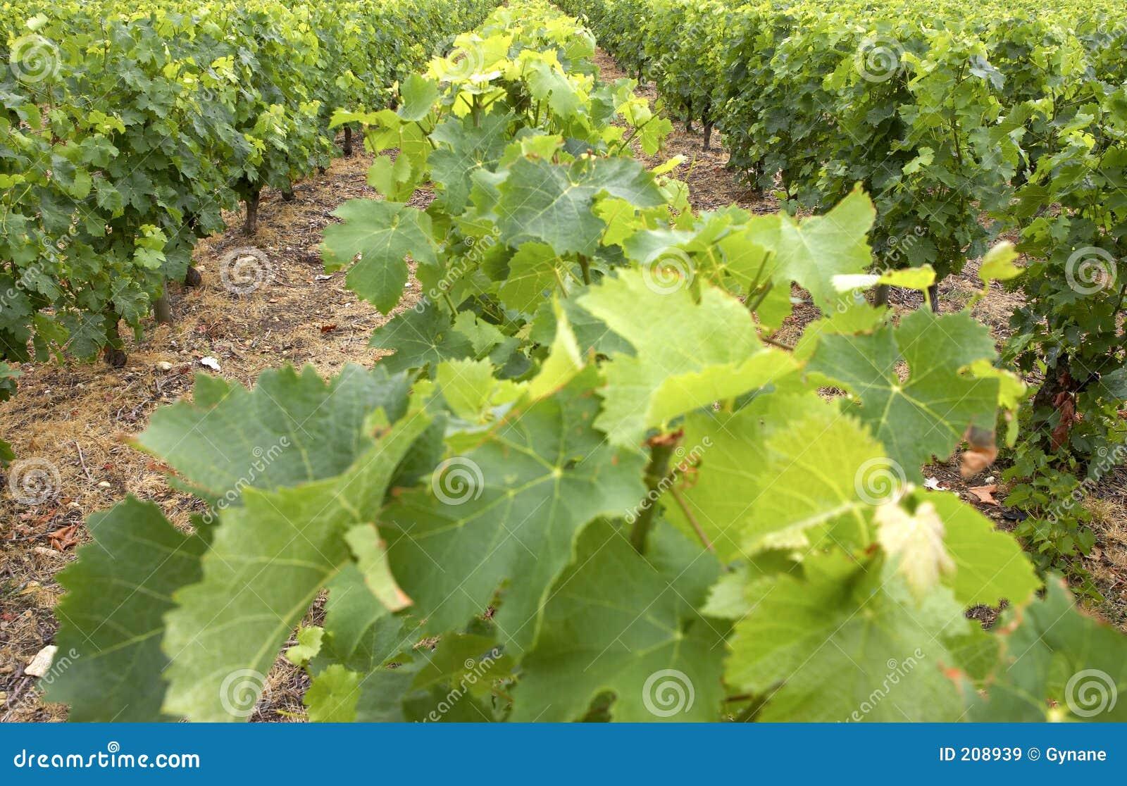 Rośnie winorośl france winnicę dolinę Loire