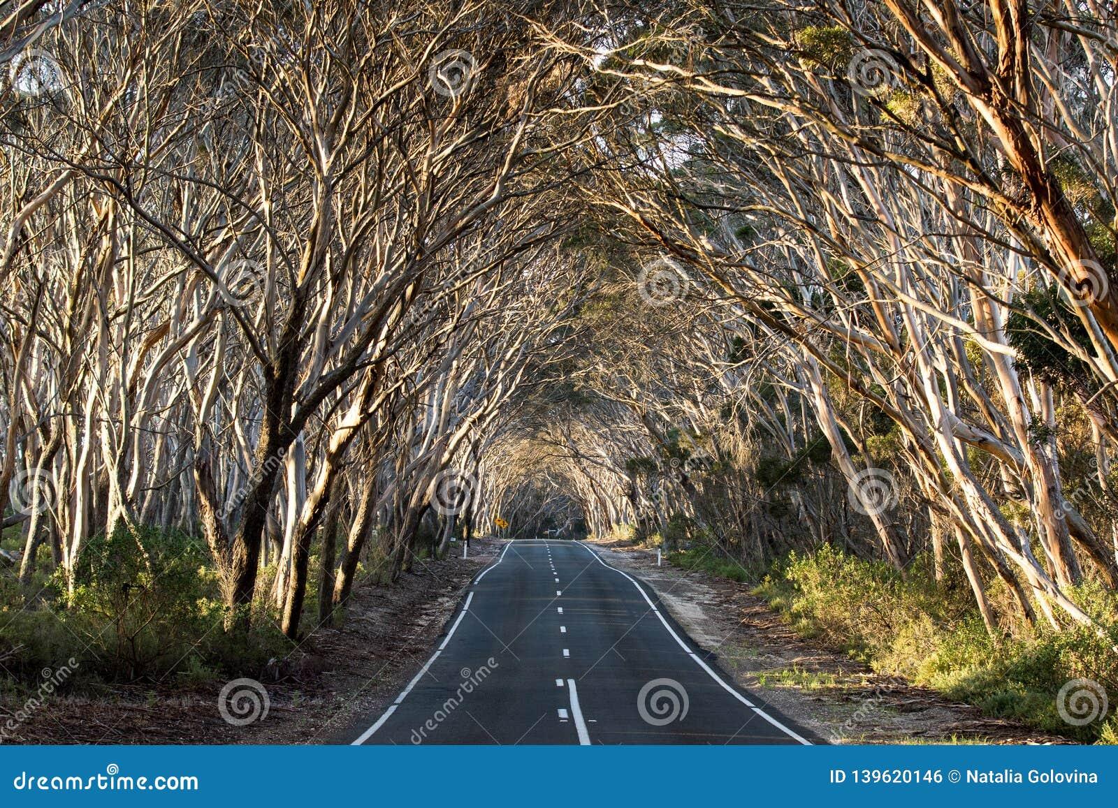 Empty road through the eucalyptus wood. Australia. Sunny day