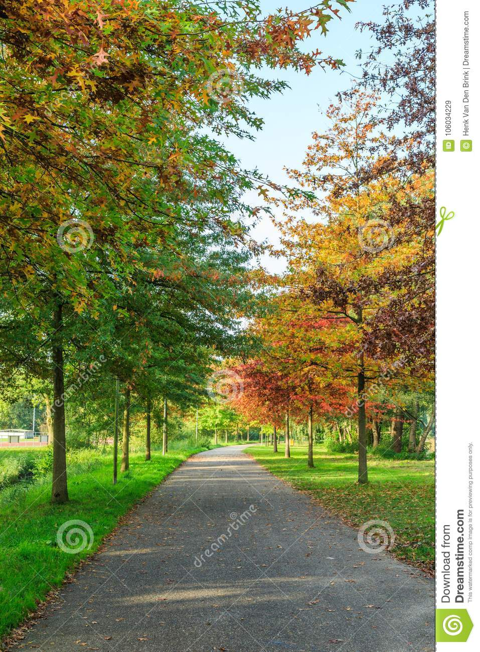 Pin Oak, Quercus Palustris As A Street Tree Planted In The Roadside ...