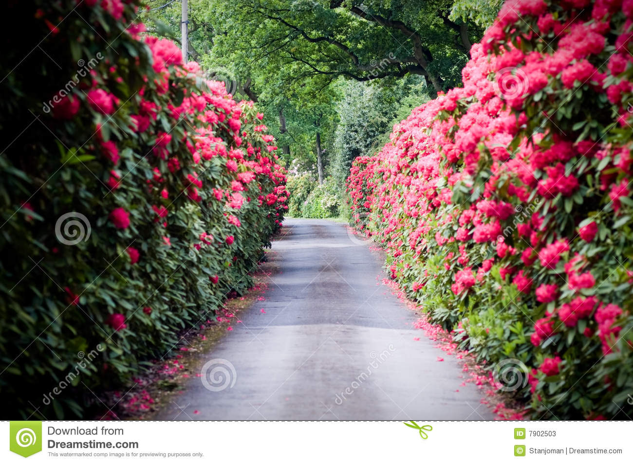 A Road Lined With Rhododendron Stock Image Image Of