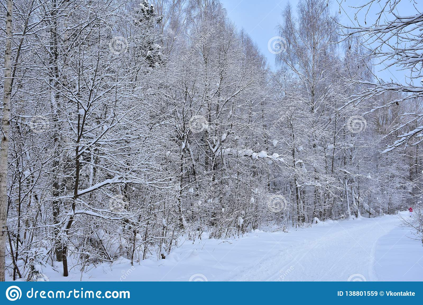 Road skiing and winter forest live their lives. Everything is quiet and solemn in the winter forest
