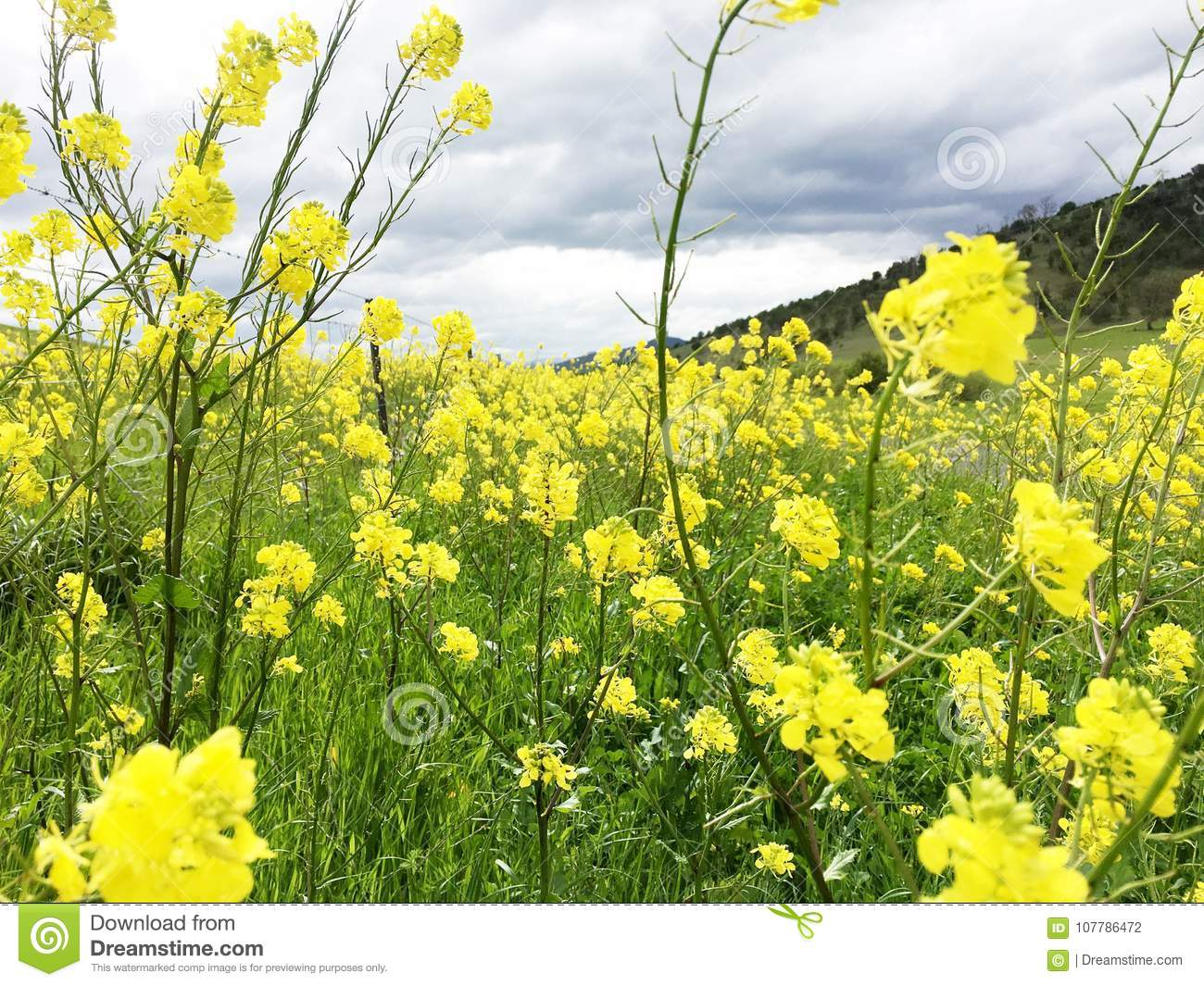 A Meadow Filled With Yellow Canola Flowers Stock Photo Image Of