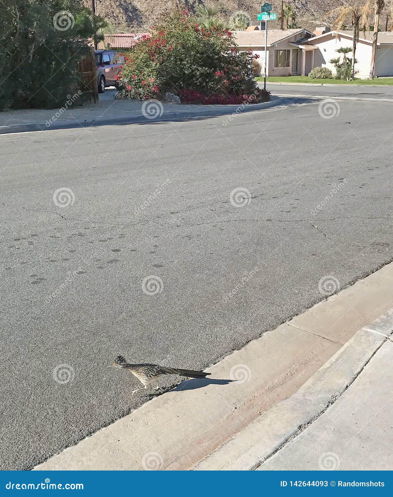 Roadrunner Crossing A Street In La Quinta