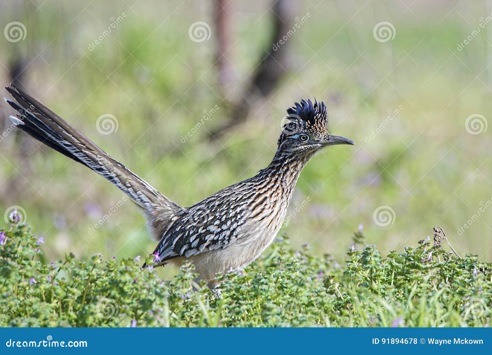 Roadrunner ptasi łowiecki jedzenie w trawiastym polu, belfer, piórka, skrzydło,