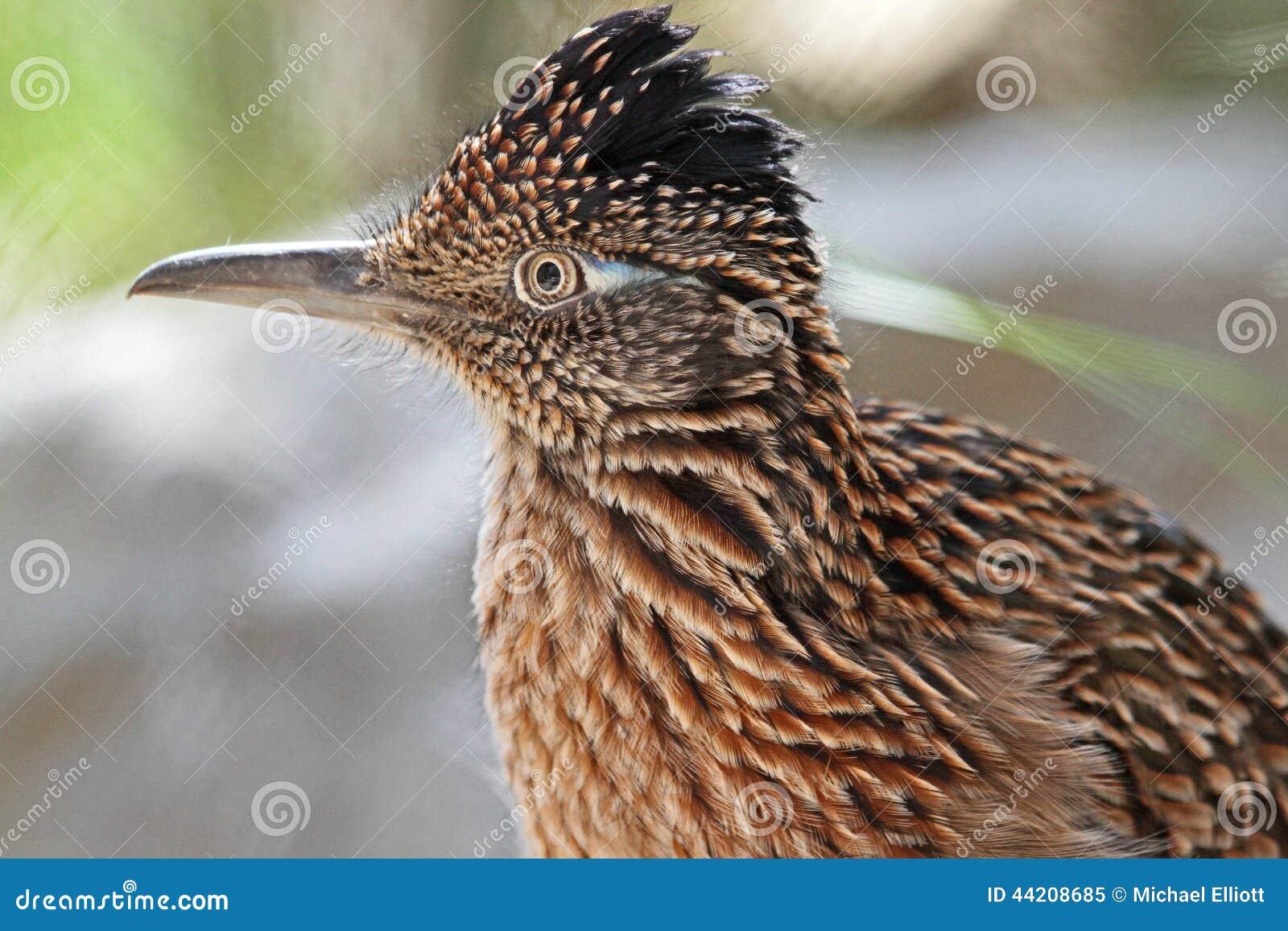 Roadrunner-Vogel