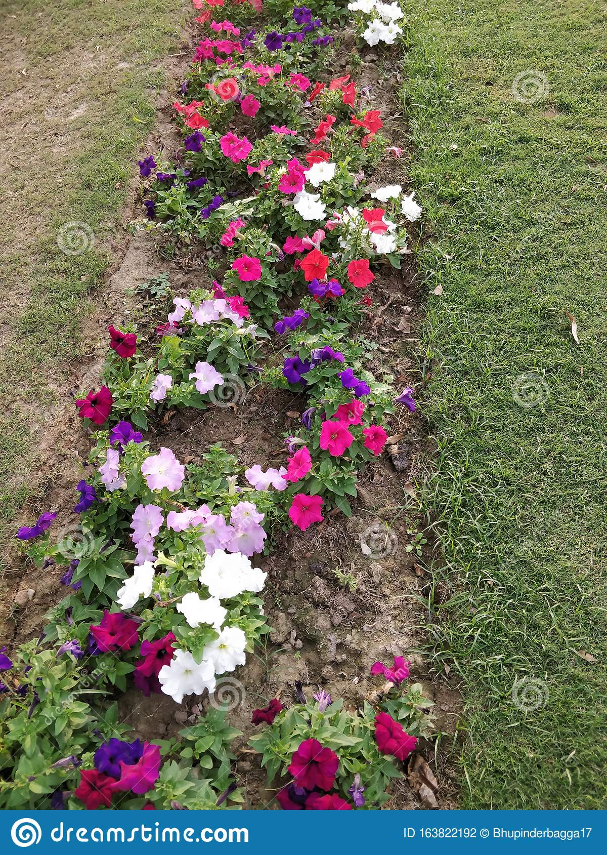 Roadside Lawn With Multicolored Petunia Flower Bed Stock Photo Image Of Roadside Petunia 163822192