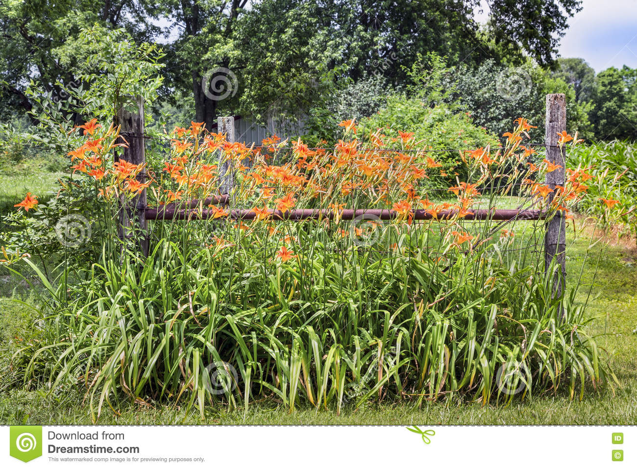 roadside lilies and fence stock photo image 73783159
