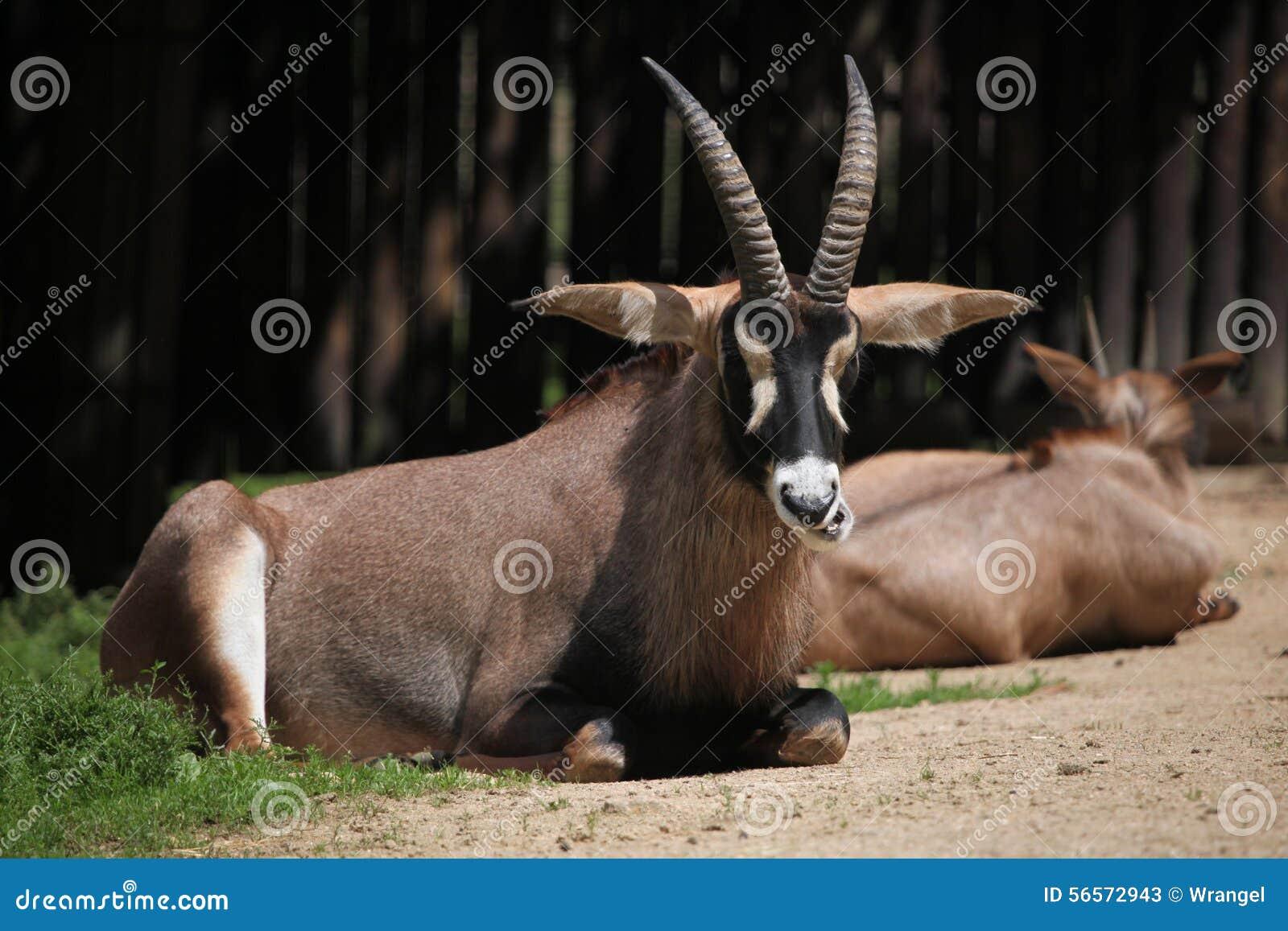 Download Roan αντιλόπη (equinus Hippotragus) Στοκ Εικόνα - εικόνα από ζωή, αφρικανικά: 56572943