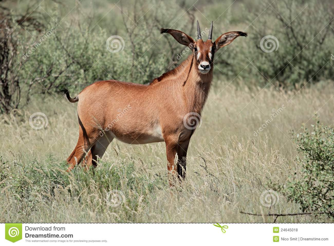 Roan Antelope Royalty Free Stock Photos Image 24645018
