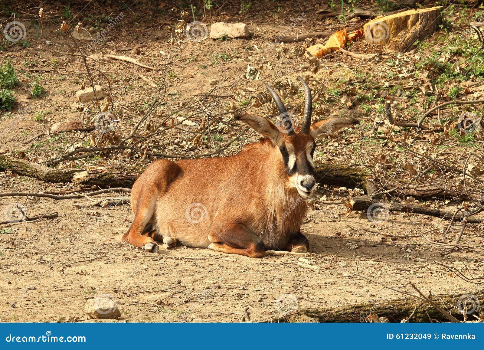 roan antelope hippotragus equinus resting on sand stock