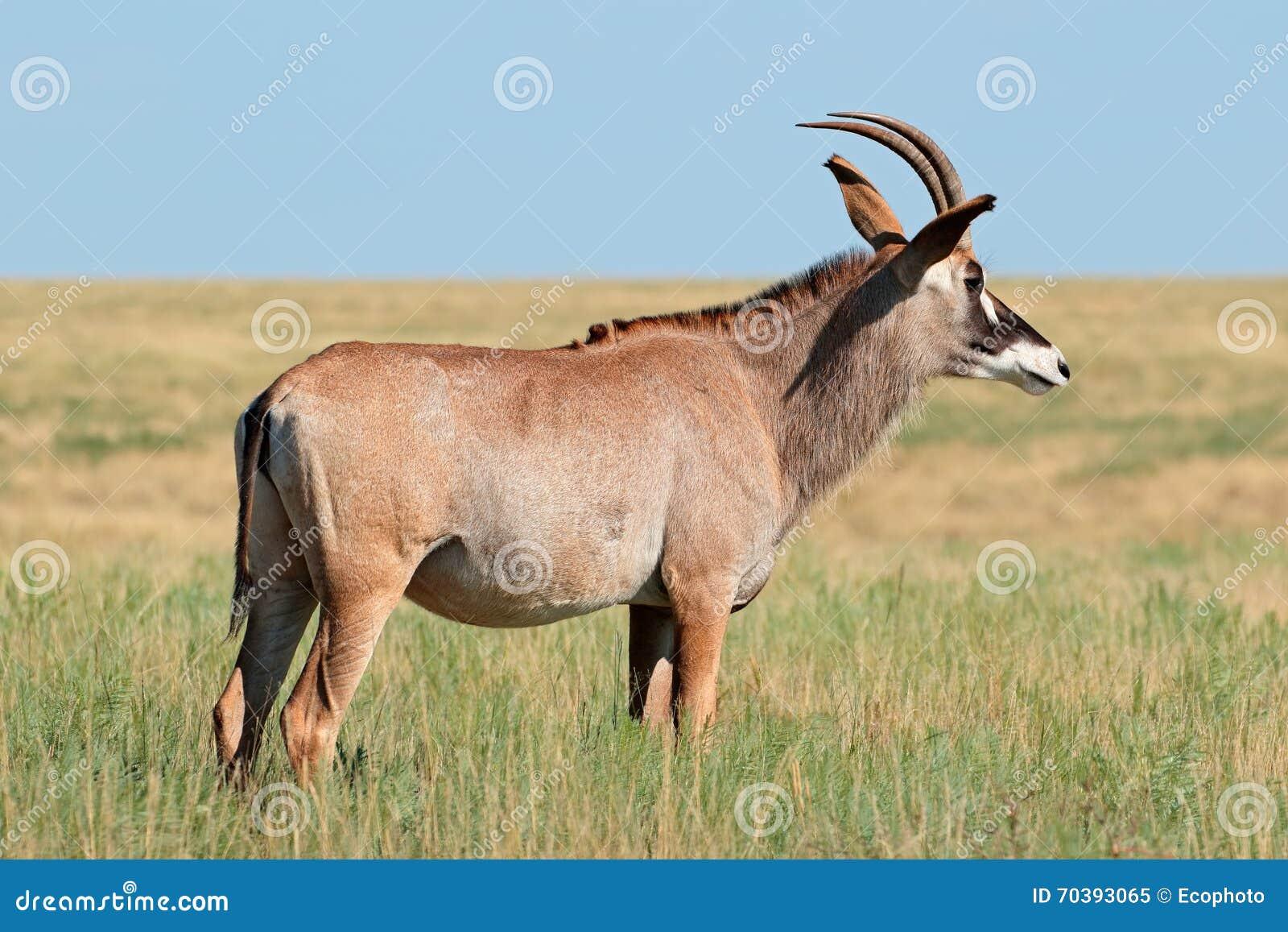 roan antelope stock photo   image 70393065