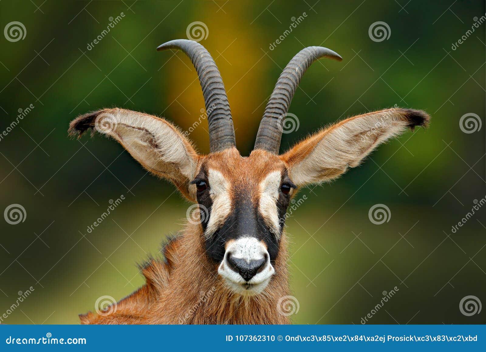 Roan antilope, Hippotragus-equinus, savanneantilope in het Westen, Centraal, het Oosten en Zuid-Afrika wordt gevonden dat Detailp