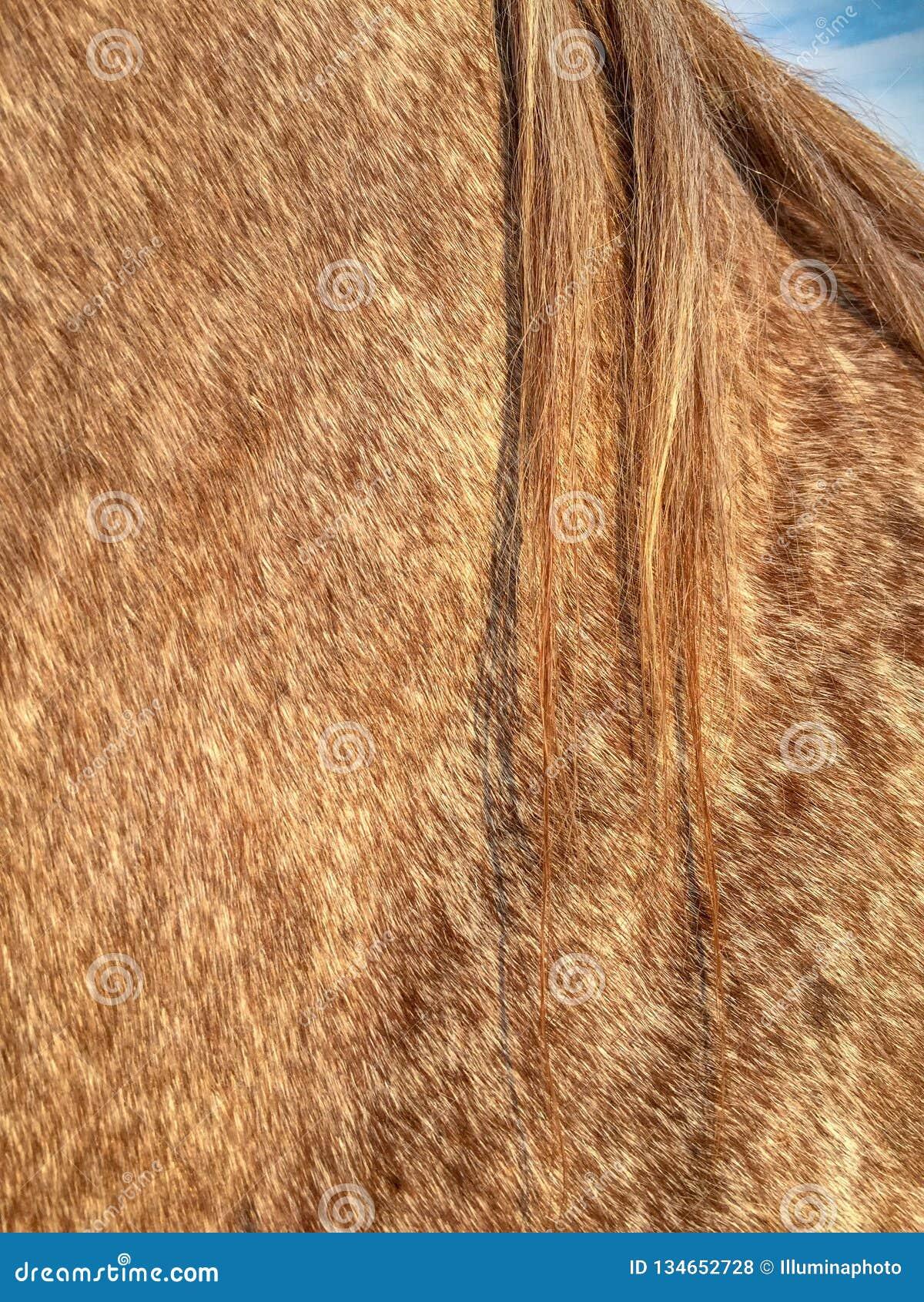 Roan laag, manen en schouder van het mannelijke Kwartpaard castreren