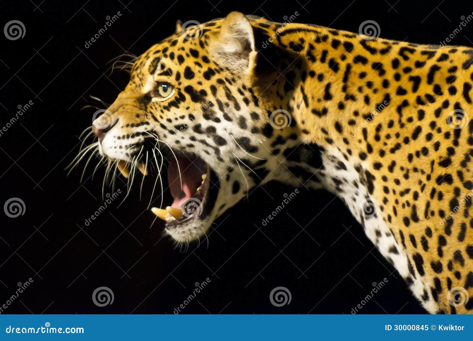 Roaring Jaguar Royalty Free Stock Photo Image 30000845
