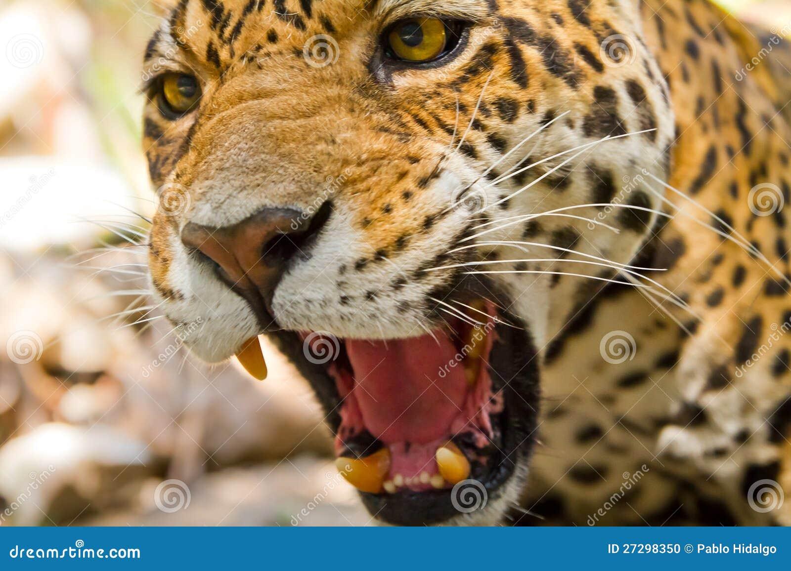 Jaguar Face Roar Www Pixshark Com Images Galleries