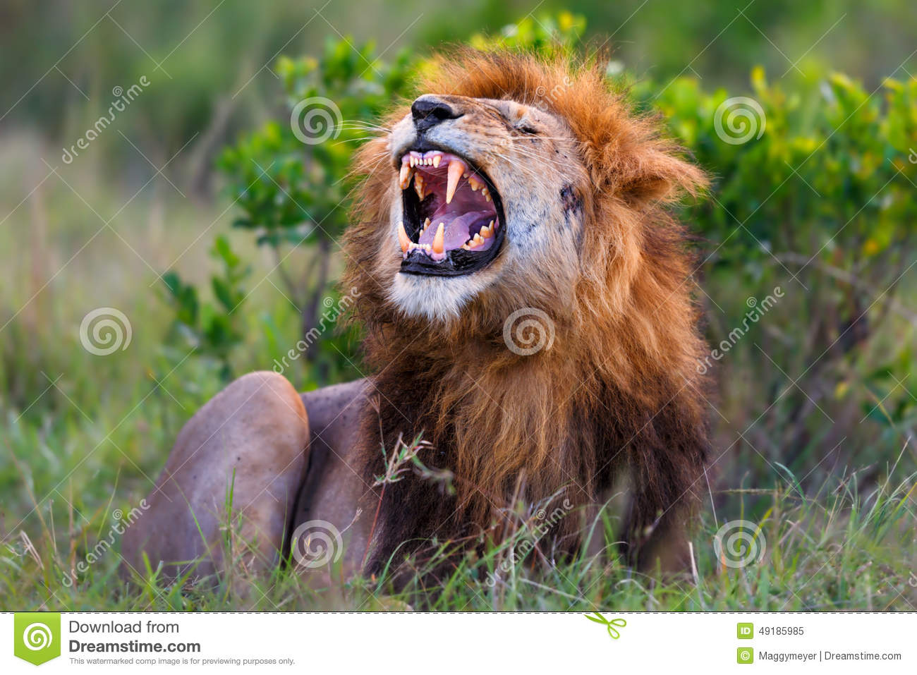 roaring lion ron in masai mara stock photo image 49185985. Black Bedroom Furniture Sets. Home Design Ideas