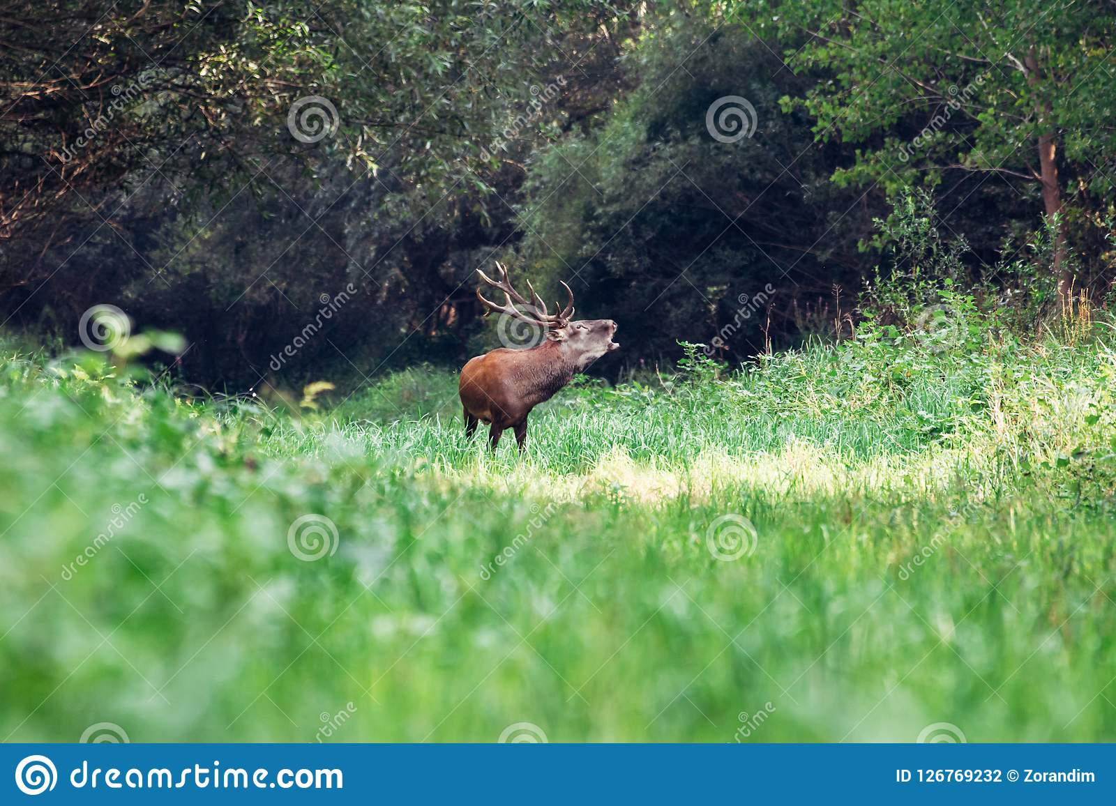 Roaring of majestic powerful adult red deer stag in green forest