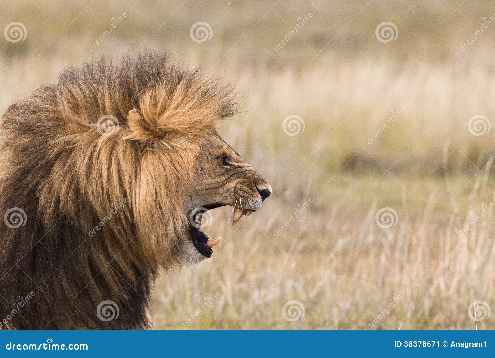 Lion side view face roar - photo#16
