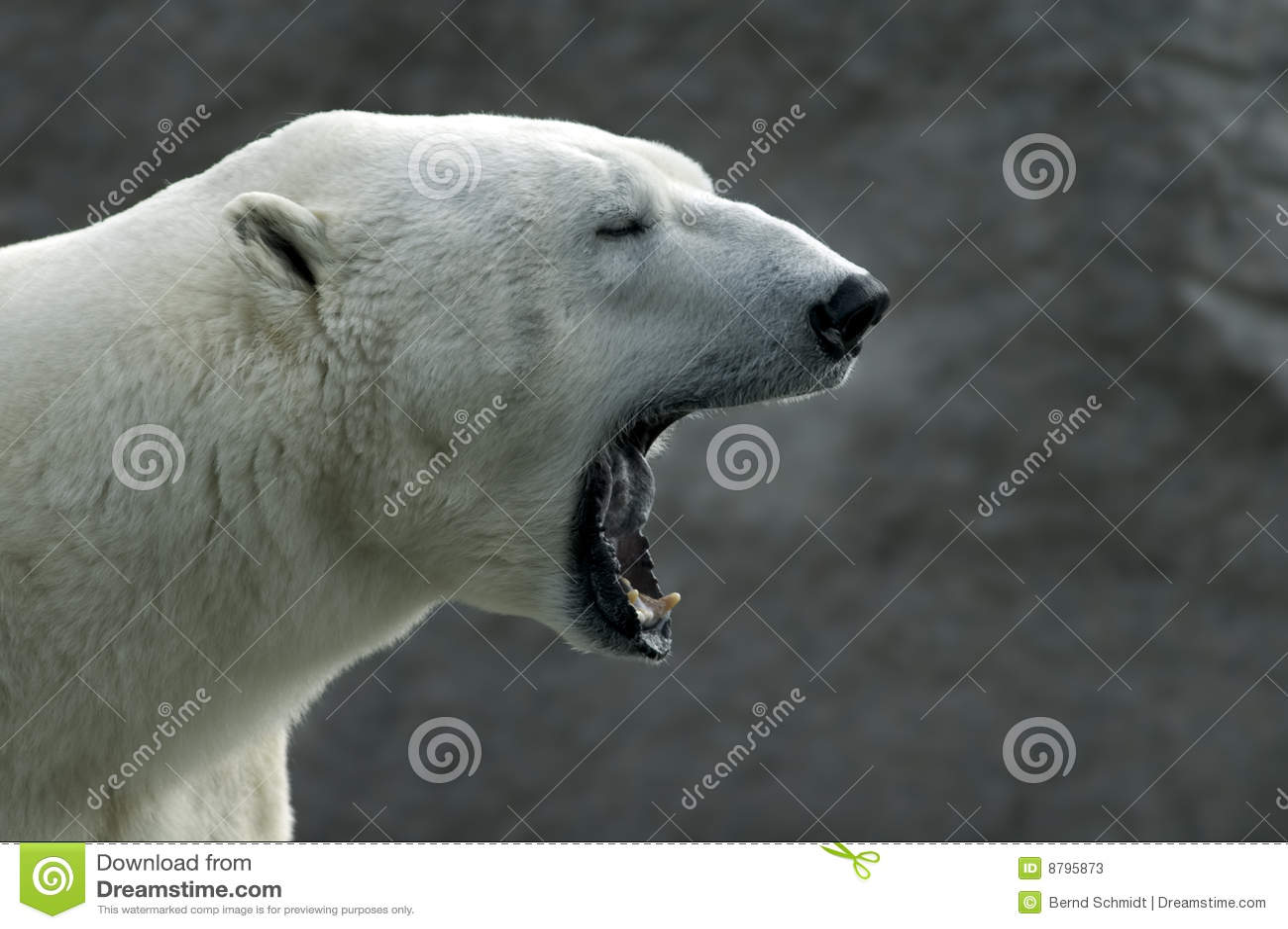 Roaring Polar Bear Ursus Maritimus Stock Image Image