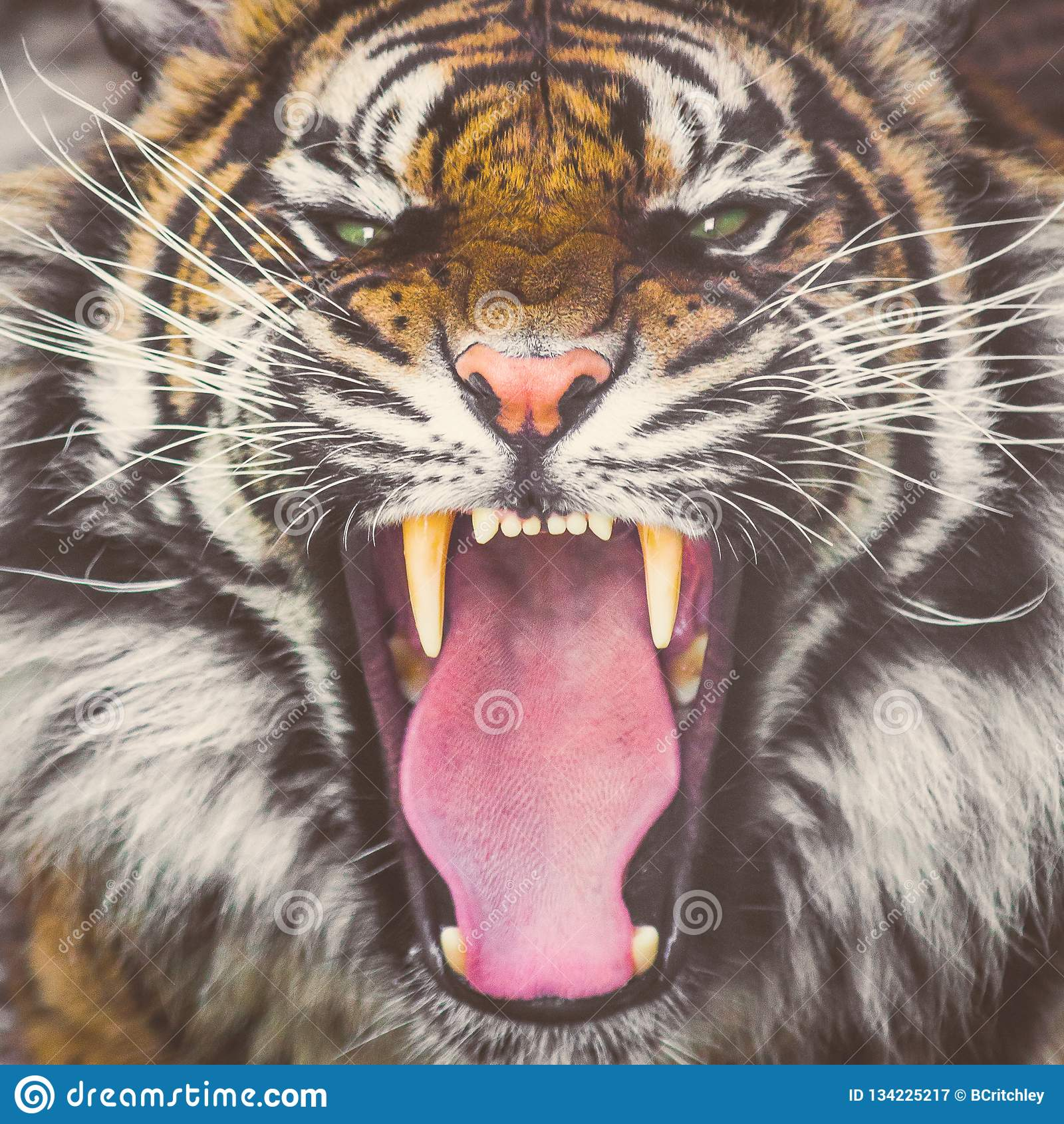 Roaring Sumatran tiger showing teeth