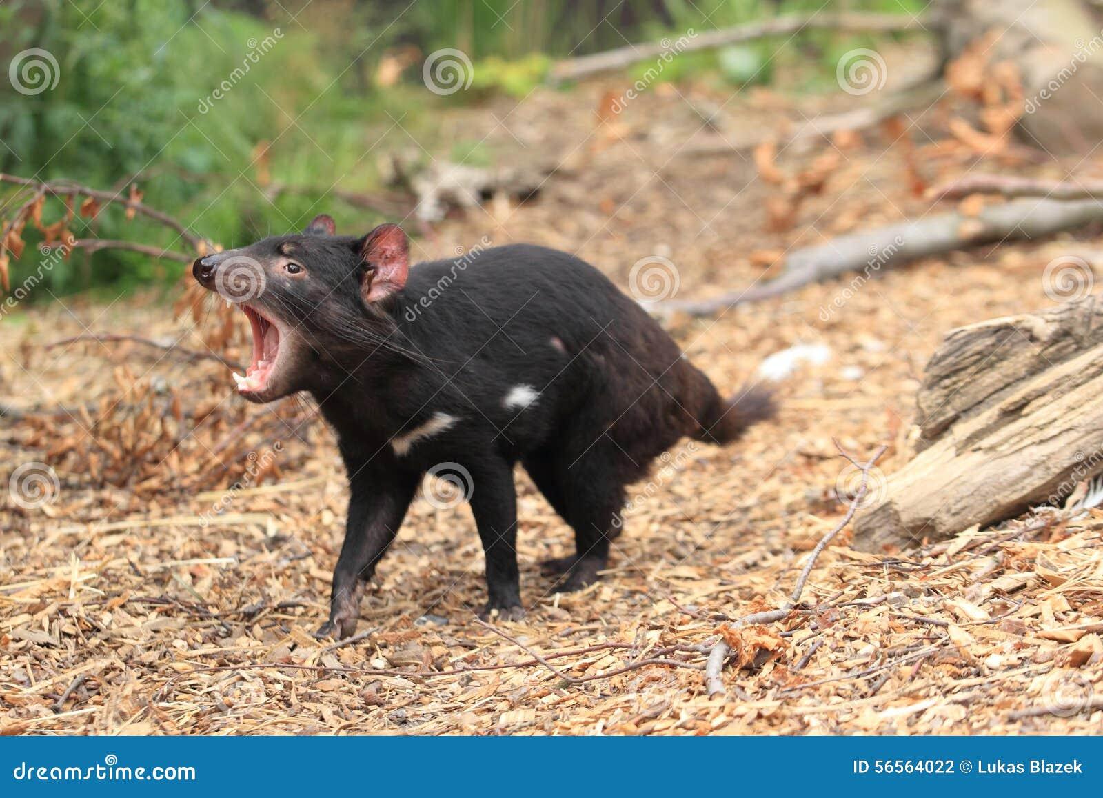 Roaring tasmanian devil