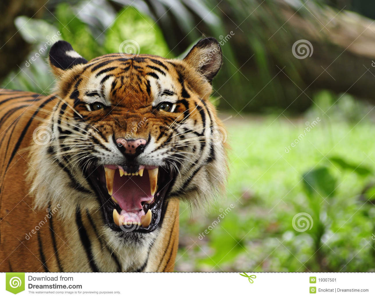 Roaring tiger stock image. Image of danger, scare, jungle ... - photo#47