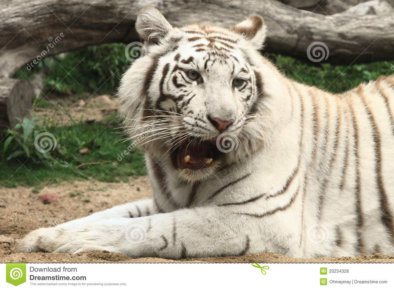 roaring white tiger stock photo. image of china, tiger - 20234328