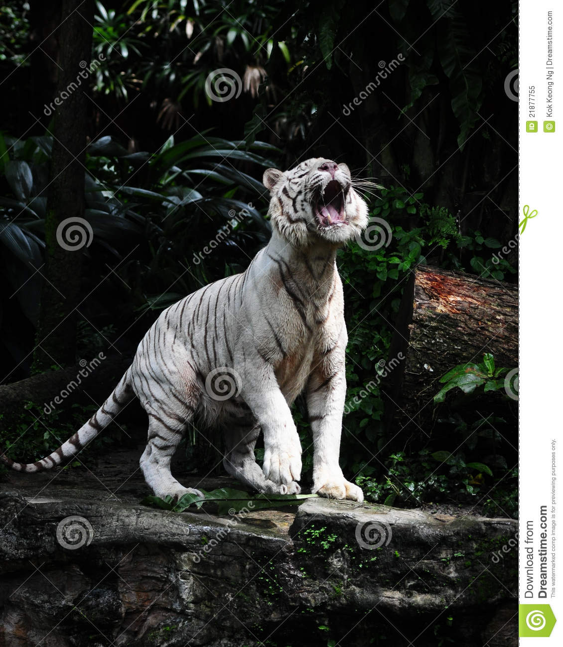 a roaring white tiger stock image. image of bengal, white - 21877755