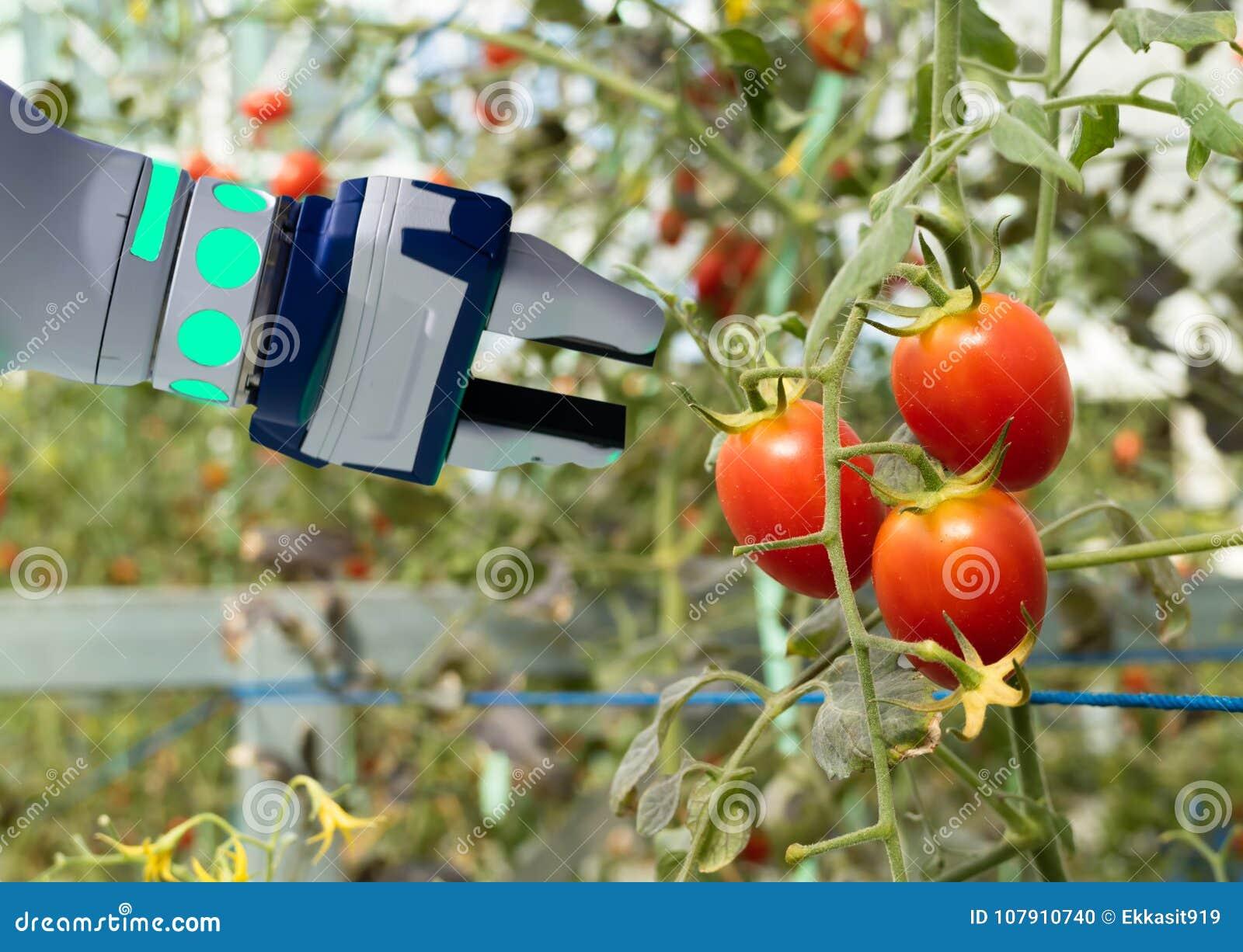 Robótico esperto no conceito futurista da agricultura, automatização dos fazendeiros do robô deve ser programado para trabalhar d