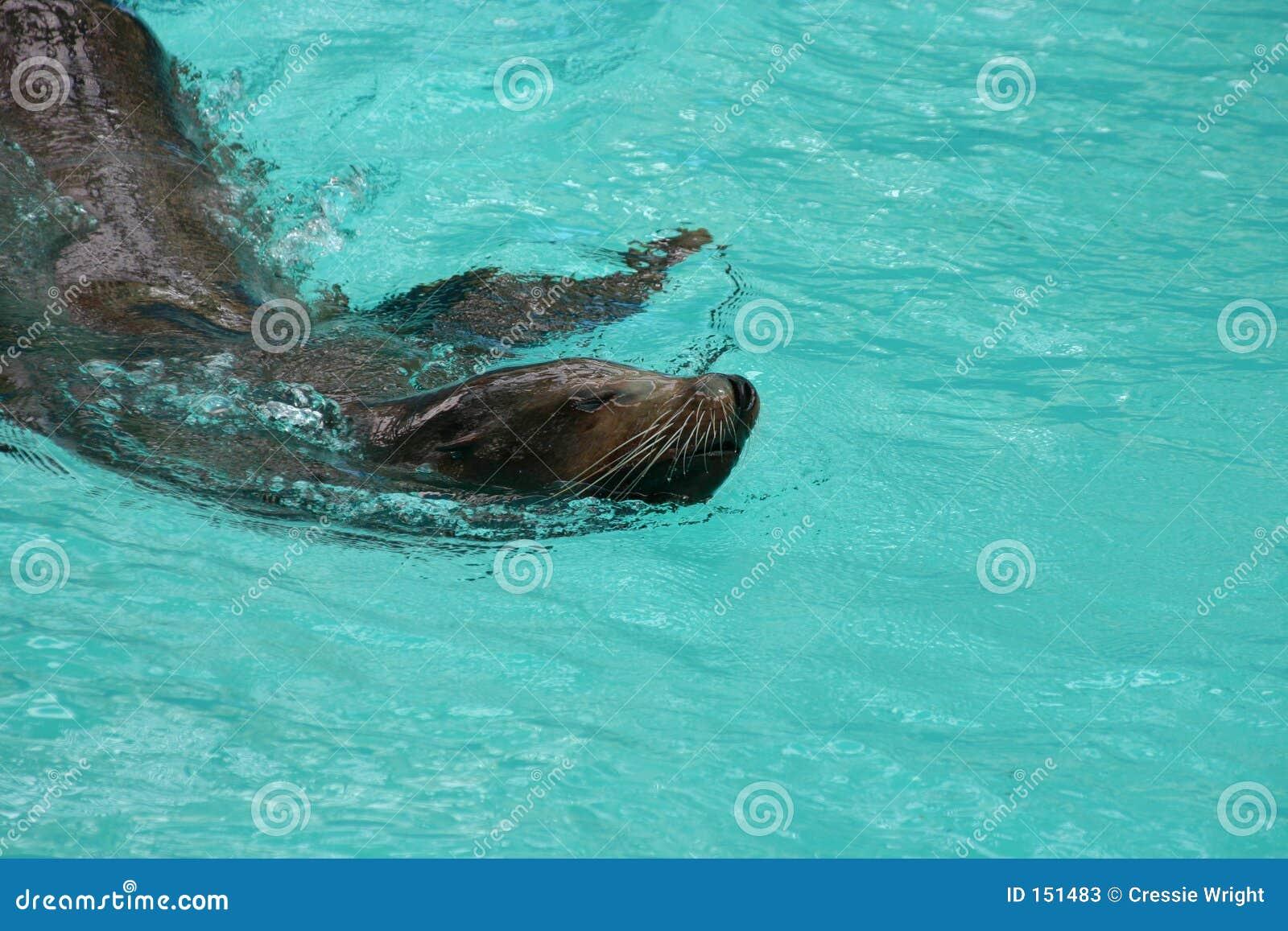 Robben-Schwimmen