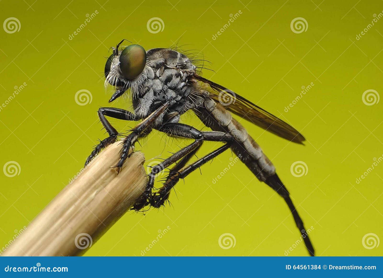 Robberfly (Asilidae) Hunterfrom Thailand ein gerades Gesicht