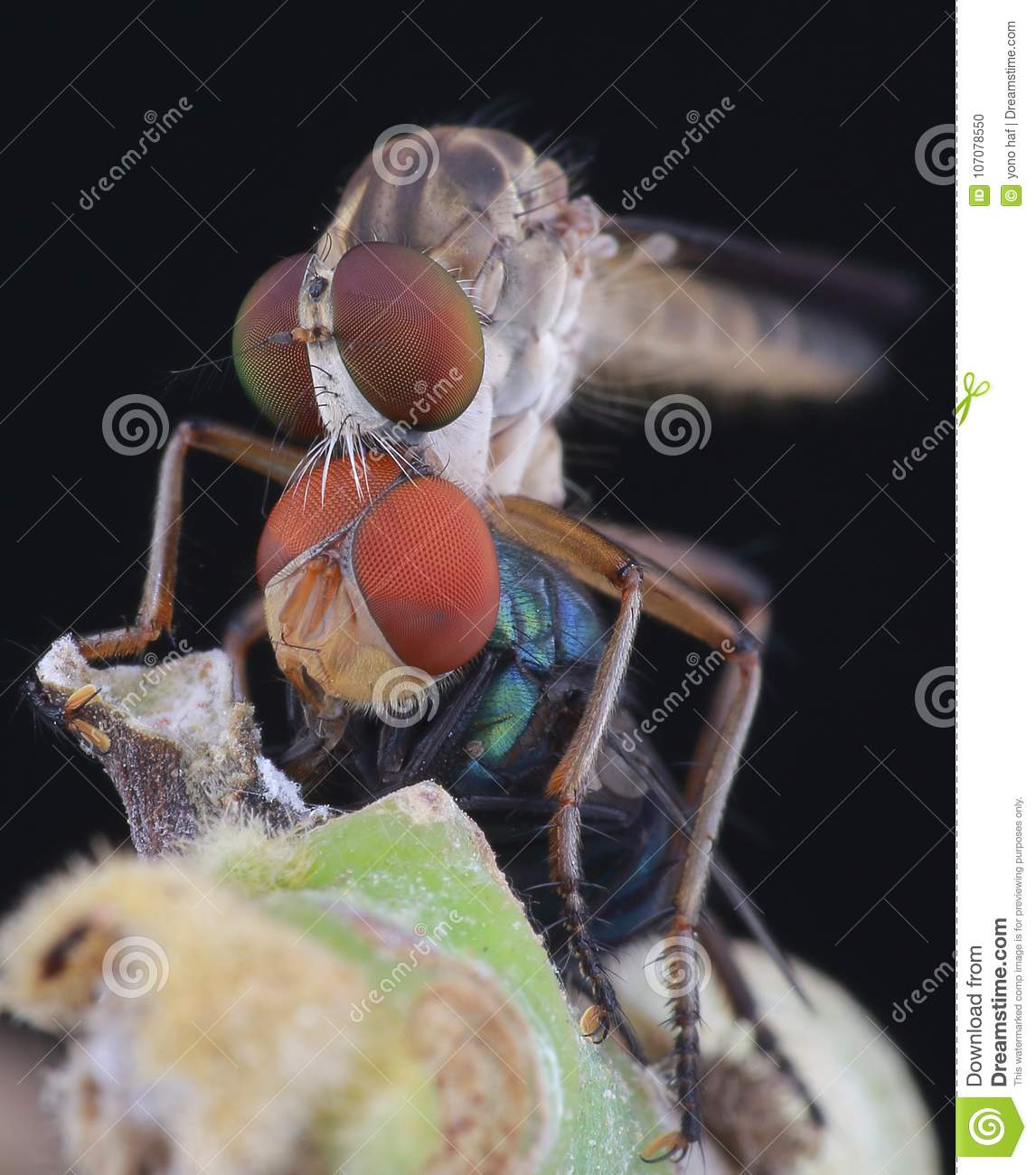 Robberfly eat