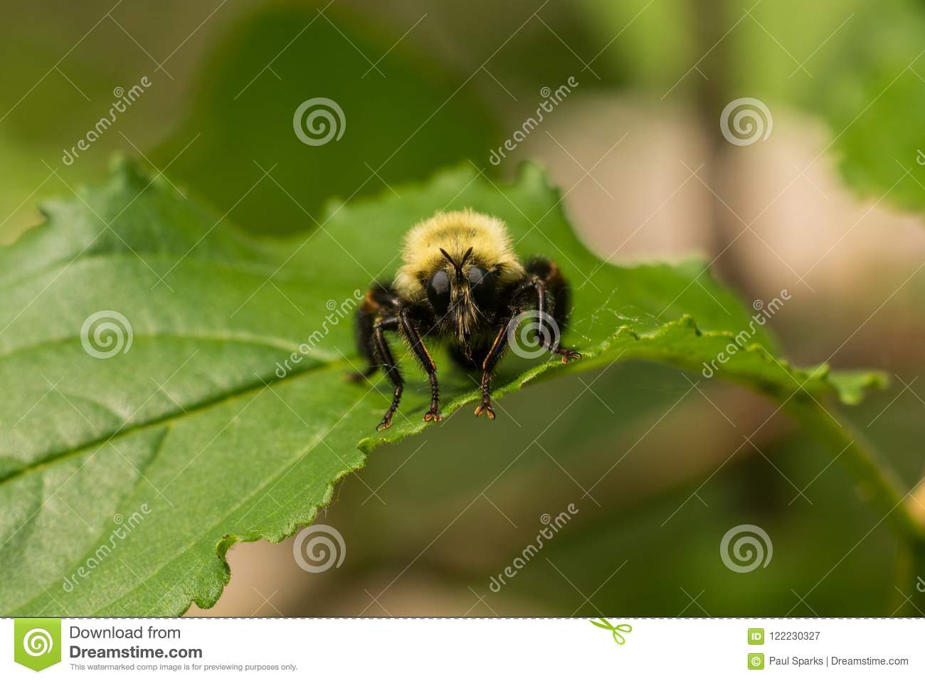 Robberfly, Laphria-thoracica