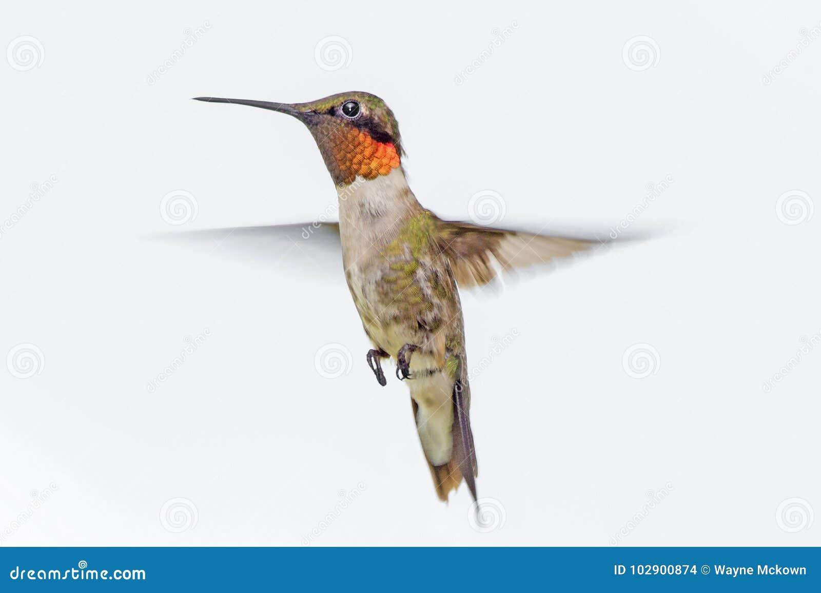 Robijnrode Kolibrie Throated
