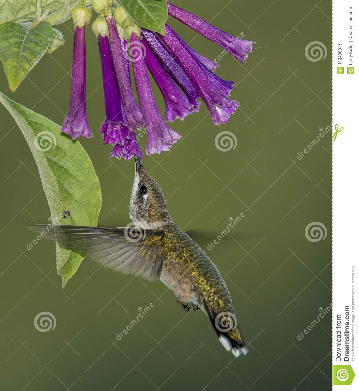 Robijnrood-Throated Kolibrie en Violet Flowers