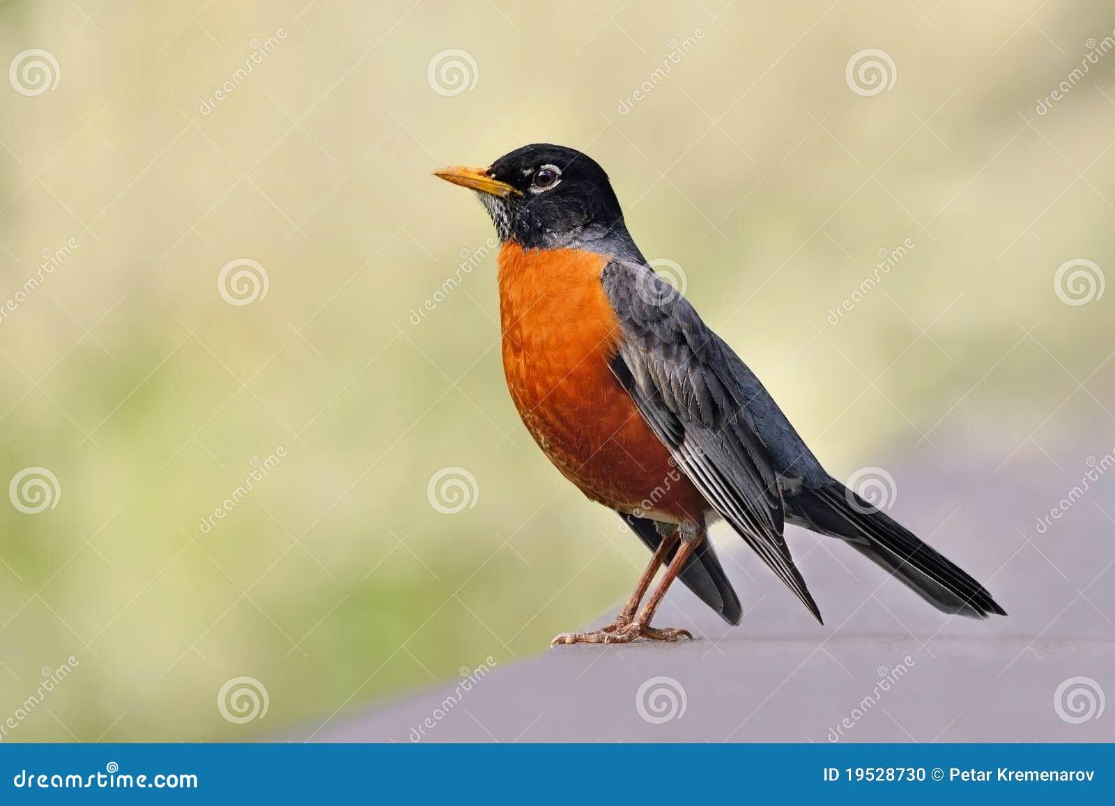 Robin americano