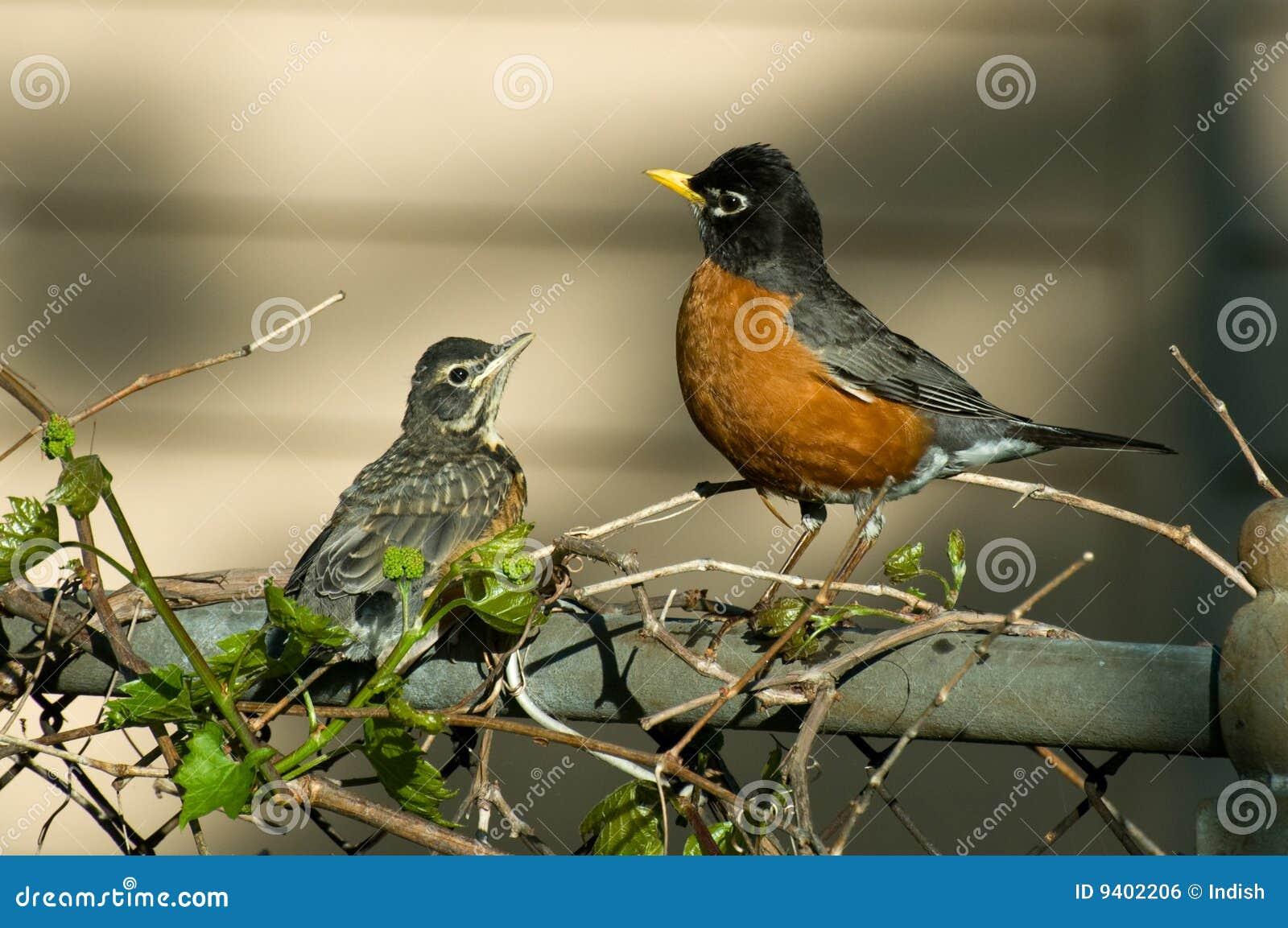robin and baby fledgling stock photo image of passerine 9402206