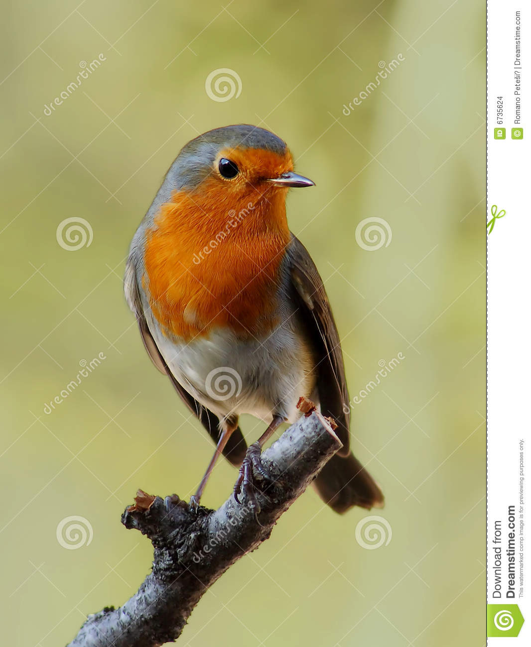 Robin, beautyful bird with reddish-orange face and breast, looking ...