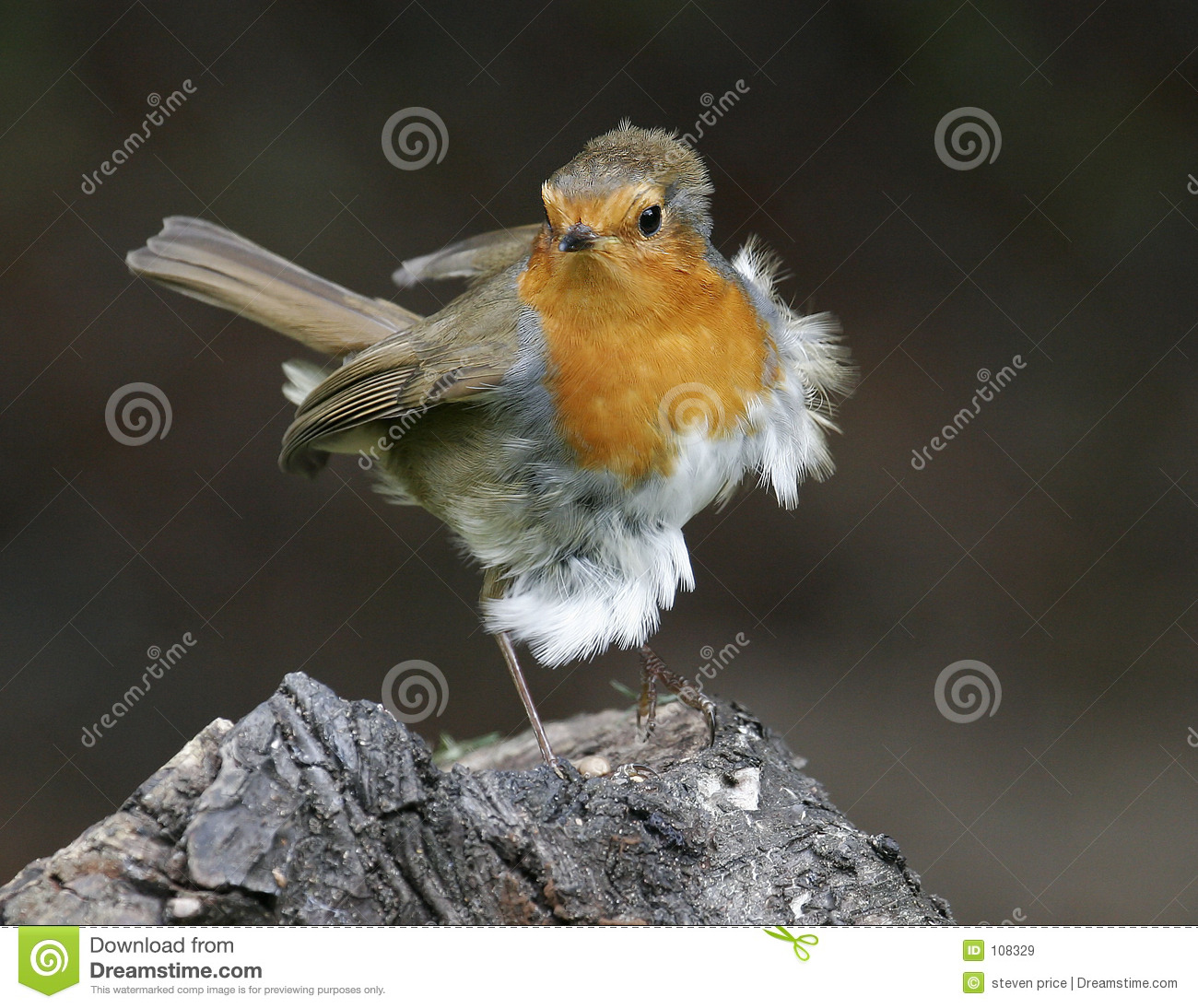 Robin blowing in the wind