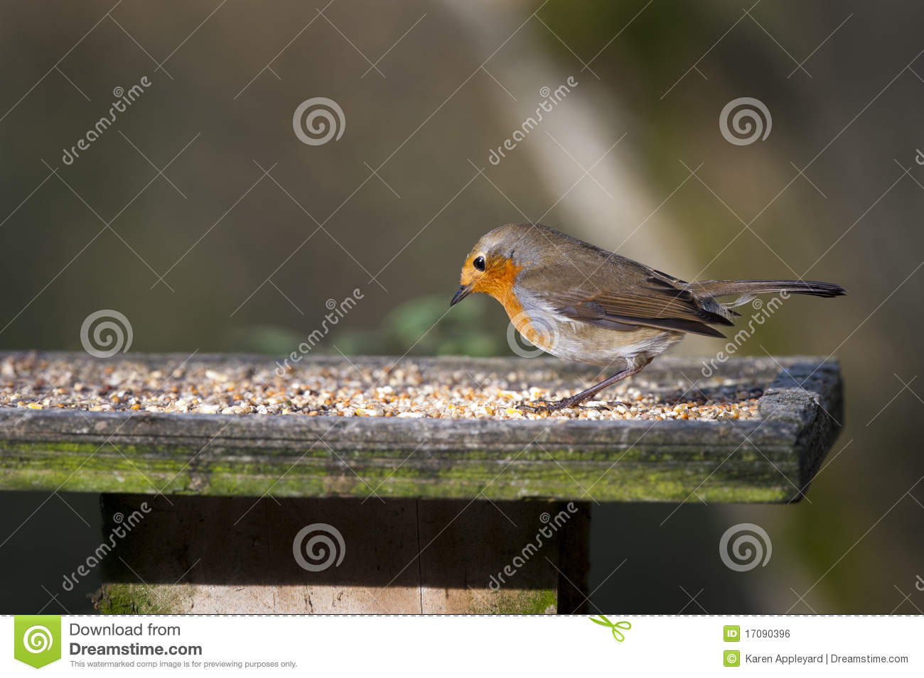 Download Robin (Erithacus rubecula) stock photo. Image of wild - 17090396