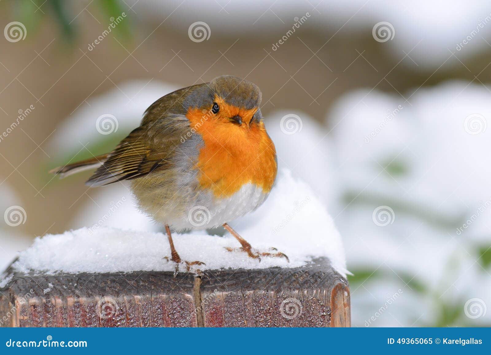Robin fågel