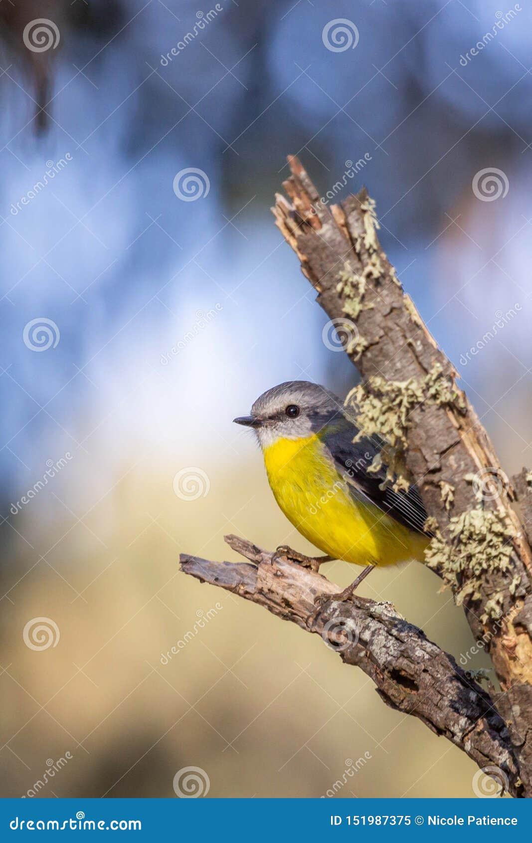 Robin giallo orientale selvaggio, roccia d attaccatura, Victoria, Australia, giugno 2019