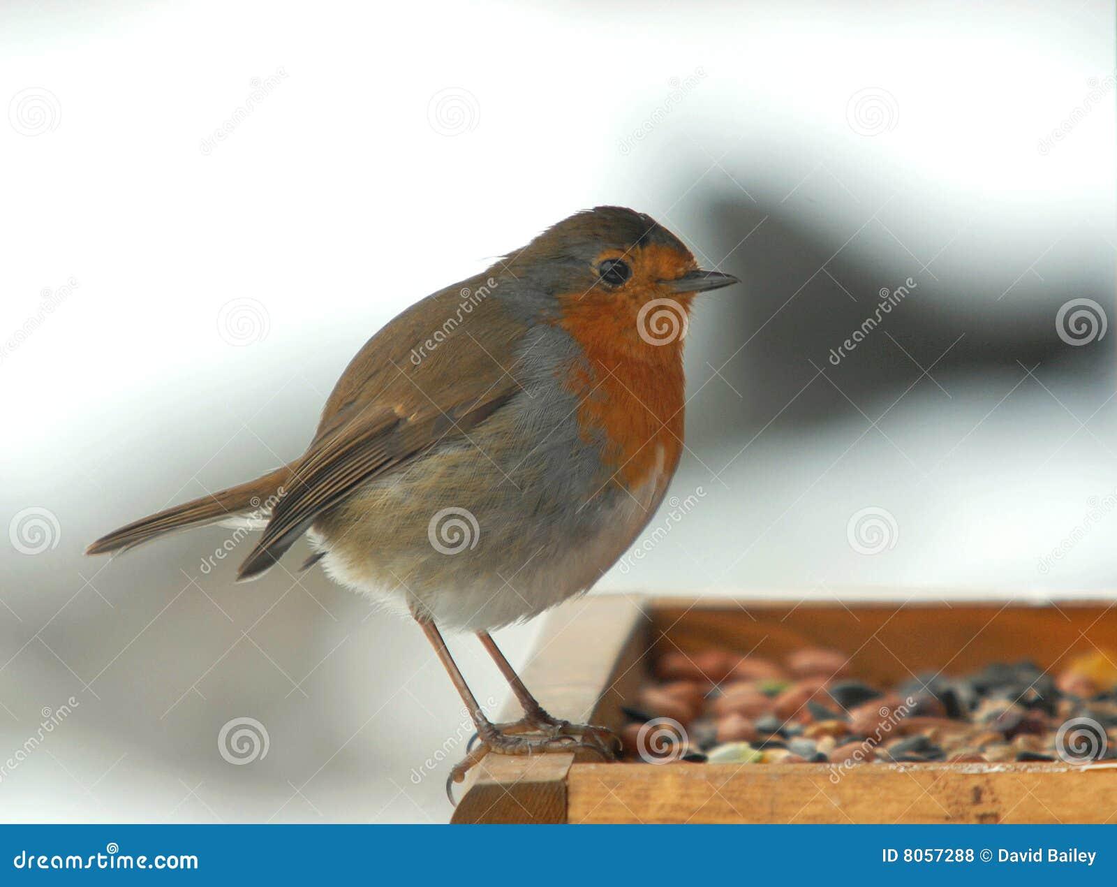 Robin inglese
