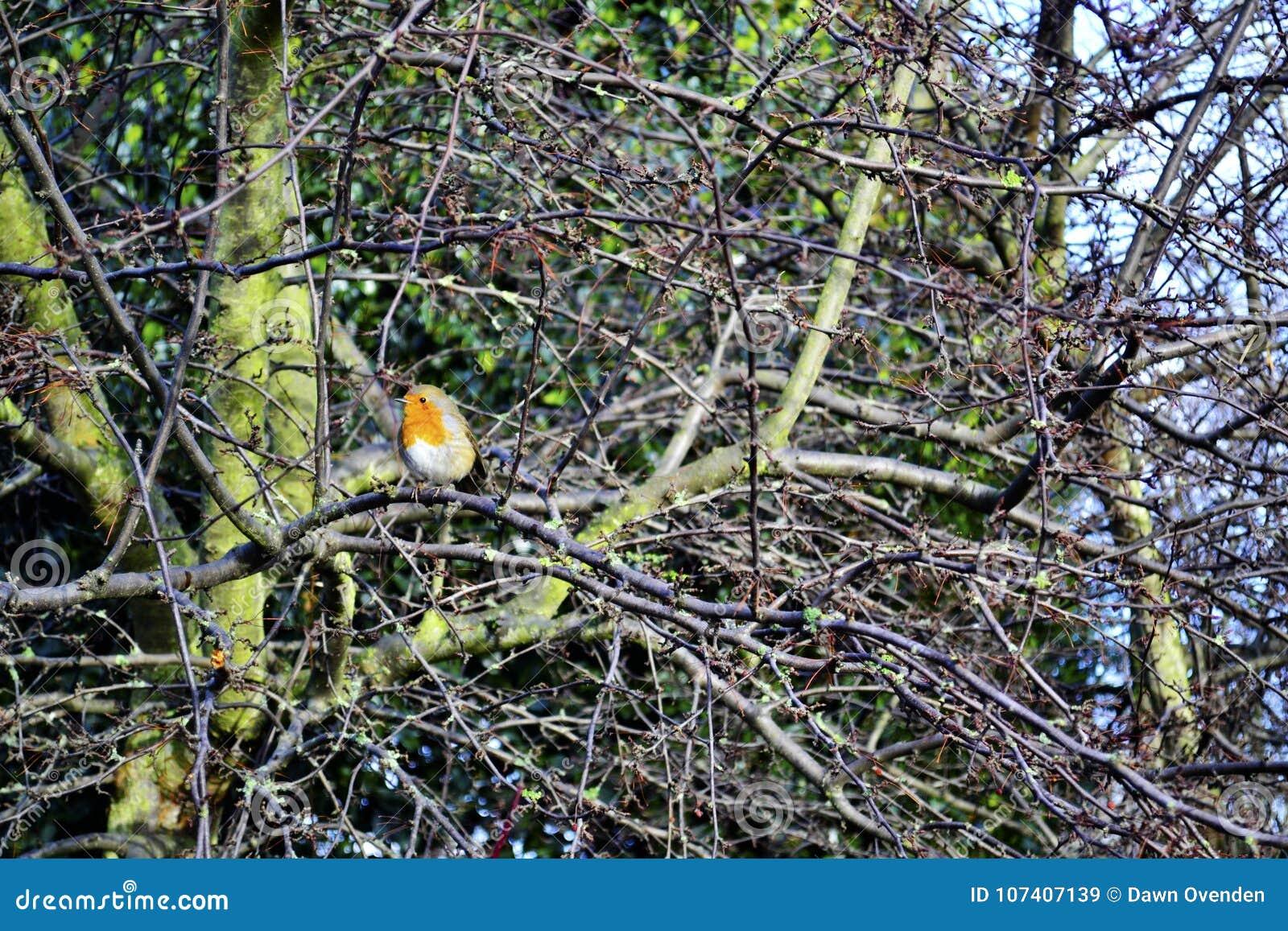 Robin met rode borst in naakte boomtakken