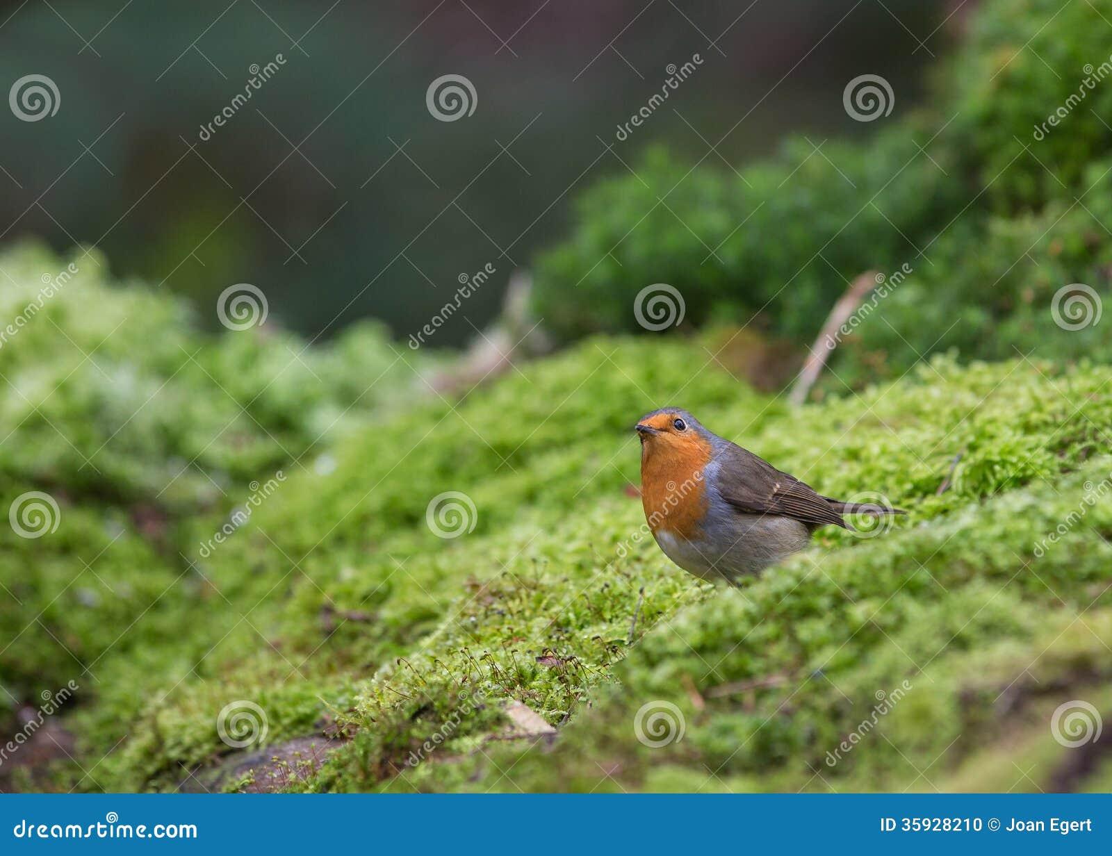 Robin nach Moos